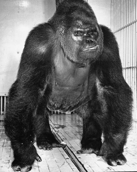Gargantua the Gorilla