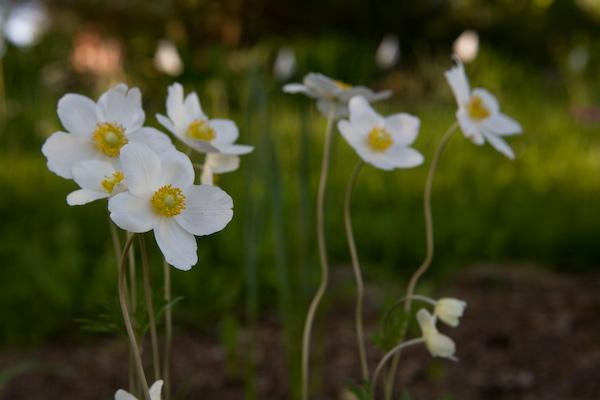 anemone-3702